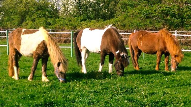 3 Pferde auf Koppel